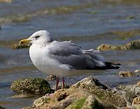 Adult herring gull in nonbreeding plumage