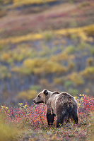Grizzly bear on the autumn colored tundra in Sable Pass in Denali National Park