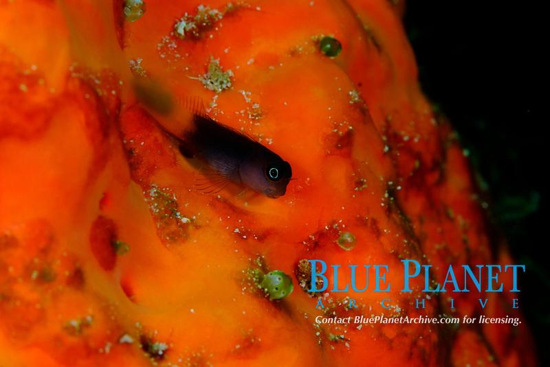 Bicolour blenny, Escenius bicolour. Coastal, lagoon and outer reefs, raja Ampat, West Papua, Indonesia, Pacific Ocean