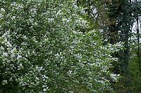 Traubenkirsche, Gewöhnliche Traubenkirsche, Blüten, Blüte, blühend, Prunus padus, European Bird Cherry, bird cherry, hackberry, hagberry, Mayday tree, Le Cerisier à grappes, le Merisier à grappes
