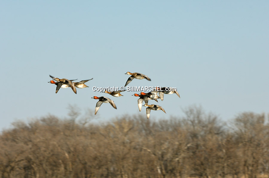 00317-007.17 Redhead Duck (DIGITAL) flock in flight with trees in background.  Hunt, hunting, waterfowl, diver. H1L1