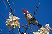 Red-crested Cardinal, Paroaria coronata, male singing, Honolulu, Hawaii, USA, August 1997