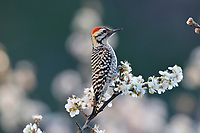 Ladder-backed Woodpecker (Picoides scalaris), adult male perched on blooming Mexican Plum  (Prunus mexicana), Hill Country, Central Texas, USA