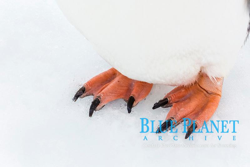 gentoo penguin, Pygoscelis papua, adult, feet detail, Jougla Point on Weincke Island, Antarctica, Southern Ocean