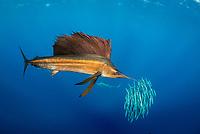 Atlantic sailfish, Istiophorus albicans, hunting round sardinella or Spanish sardines, Sardinella aurita, baitball, Isla Mujeres, Mexico, Gulf of Mexico, Caribbean Sea, Atlantic Ocean