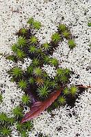 Reindeer lichen (Cladonia rangiferina) and Shining clubmoss (Lycopodium lucidulum), Rolesville Millpond Natural Area, Rolesville, North Carolina, USA
