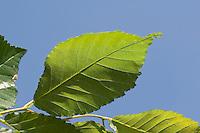 Feld-Ulme, Feldulme, Ulme, Blatt, Blätter vor blauem Himmel, Ulmus minor, Ulmus campestris, Ulmus carpinifolia, Ulmus foliacea, European Field Elm