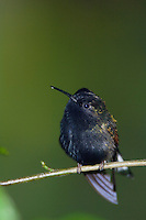 Black-bellied Hummingbird, Eupherusa nigriventris, male perched, Central Valley, Costa Rica, Central America