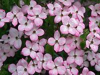 Close up of Dogwood flowers. Hughes Water Gardens, Oregon