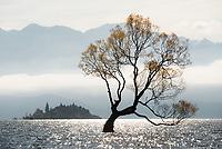 Solitary willow tree at Lake Wanaka, Central Otago, South Island, New Zealand, NZ