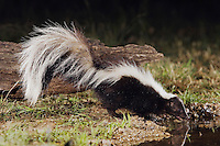 Striped Skunk, Mephitis mephitis, adult at night drinking, Uvalde County, Hill Country, Texas, USA, April 2006
