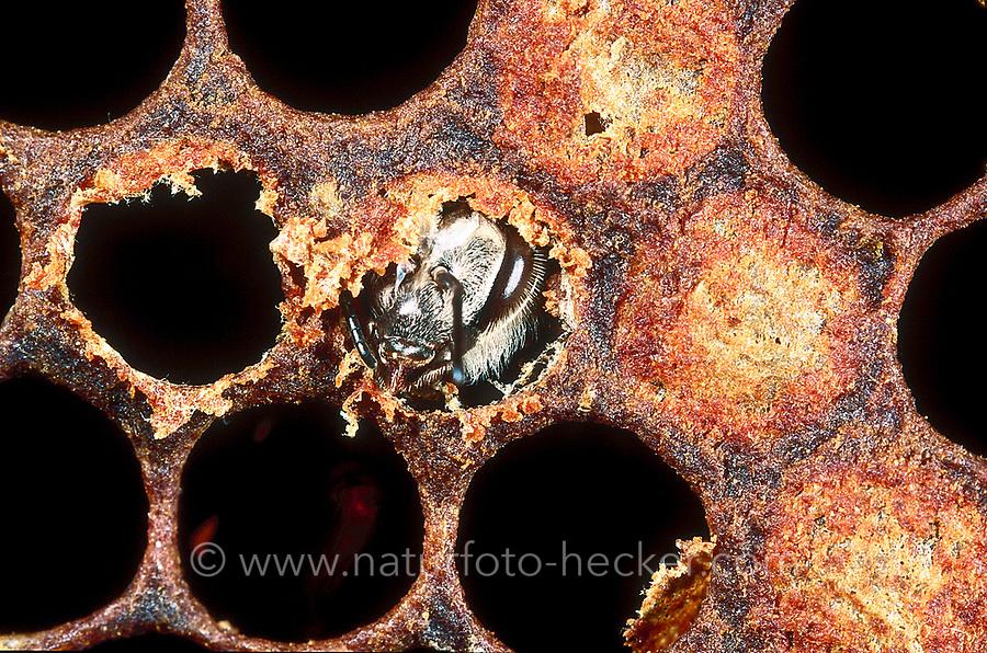 Honigbiene, Arbeiterin schüpft, Schlupf, Entwicklung, Entwicklungsreihe in den Waben, Nest, Honig-Biene, Biene, Bienen, Honigbienen, Apis mellifera, Apis mellifica, honey bee, hive bee, bees