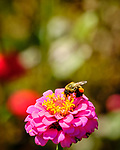 Bumblebee on a Zinnia Flower. Image taken with a Fuji X-H1 camera and 80 mm f/2.8 macro lens + 1.4x teleconverter