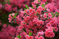 Flowering shrub, Rutherford Hybrid azalea, Rhododendron 'Orange Queen' in Norfolk Botanical Garden