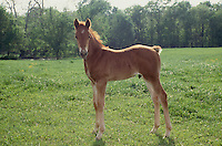 Foal stands in summer clover, Missouri USA