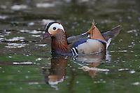 Mandarinente, Mandarin-Ente, Mandarinenente, Mandarinen-Ente, Männchen, Erpel, Aix galericulata, Dendronessa galericulata, mandarin duck, mandarin