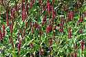Persicaria amplexicaulis 'Blackfield', late August. A very dark form of Red bistort.