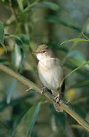 Sumpfrohrsänger, Sumpf-Rohrsänger, Rohrsänger, Acrocephalus palustris, marsh warbler