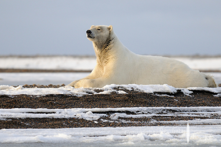 A sow rests on a patch of ice seemingly enjoying the evening sun. Every fall, polar bears gather near the community of Kaktovik, Alaska, on the northern edge of ANWR, waiting for the Arctic Ocean to freeze. The bears have become a symbol of global warming.