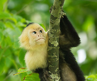 White-faced Capuchin, Cebus capucinus, climbing a tree in Manuel Antonio National Park, Costa Rica