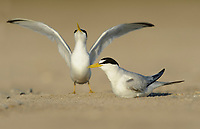 Least Tern (Sterna antillarum), adult courting sitting on nest, South Padre Island, Texas, USA