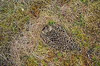 Adult female Willow Ptarmigan sitting motionless camouflaged on its nest. Yukon Delta National Wildlife Refuge, Alaska. June.