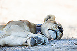 African Lion (Panthera leo) eight year old female sleeping, Kafue National Park, Zambia