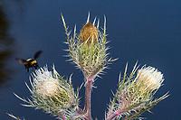 A bumble bee flies near a thistle, Merritt Island, FL, March 2020.(Photo by Brian Cleary/bcpix.com)