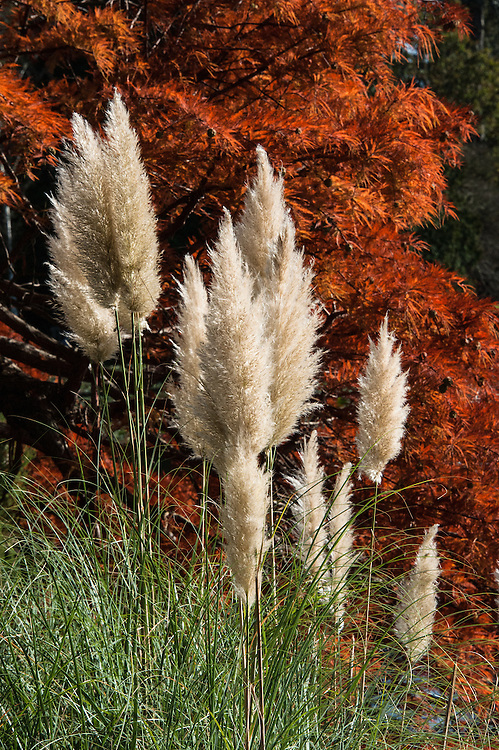 Pampas grass (Cortaderia selloana) in front of Swamp cypress (Taxodium distichum), late October.