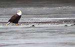 WATERBURY CT. - 14 January 2020-011421SV01-An eagle sits on the ice eating lunch at Lakewood Park in Waterbury Thursday.<br /> Steven Valenti Republican-American