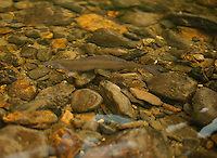 An Arctic Grayling fins in clear shallow river on the Tolovana River, Alaska.