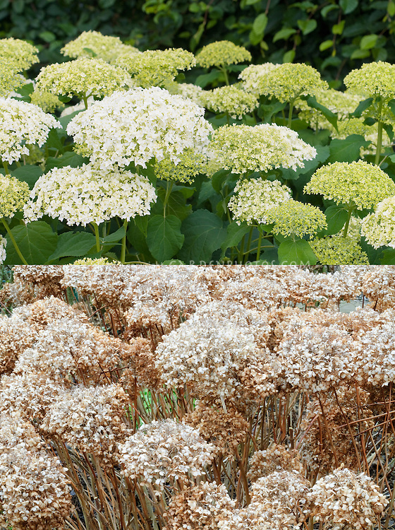 Hydrangea Annabelle in flower and in winter color dried seedheads, composite picture
