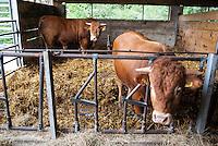 Pozzallo frazione di Romagnese (Pavia). Cooperativa Agricola Canedo: allevamento semibrado di bovini da carne. Tori --- Pozzallo Romagnese (Pavia). Canedo Agricultural Cooperative: semi-wild breeding of beef cattle. Bulls