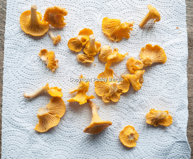 """Cantharellus is a genus of popular edible mushrooms, commonly known as chanterelles. They are mycorrhizal fungi, meaning they form symbiotic associations with plants, making them very difficult to cultivate. Caution must be used when identifying chanterelles for consumption due to lookalikes, such as the Jack-O-Lantern species (Omphalotus olearius and others), which can make a person very ill. Despite this, chanterelles are one of the most recognized and harvested groups of edible mushrooms.<br /> <br /> Many species of chanterelles contain antioxidant carotenoids, such as beta-carotene in C. cibarius and C. minor, and canthaxanthin in C. cinnabarinus and C. friesii. They also contain significant amounts of vitamin D.<br /> <br /> The name comes from the Greek kantharos meaning """"tankard"""" or """"cup"""".<br /> <br /> Stock Photo b Paddy Bergin"""