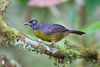 Male dusky-faced tanager