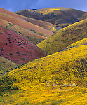 Wildflowers, Tremblor Range, Carrizo Plain National Monument, San Luis Obispo County, California