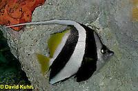 0119-08ss  Longfin Bannerfish - Heniochus Black and White Butterflyfish - Heniochus acuminatus© David Kuhn/Dwight Kuhn Photography