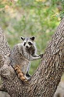 Northern Raccoon (Procyon lotor), adult in Cedar Elm (Ulmus crassifolia), New Braunfels, San Antonio, Hill Country, Central Texas, USA, North America
