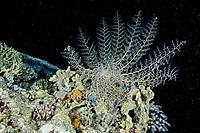 Basket star, Gorgon head, Astroboa nuda feeding at night, Alternatives reef, Egypt, Red Sea, Northern Africa
