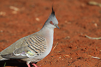 Crested Pigeon in the Red Centre, Australia
