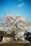 Cherry Blossom in Himeji Castle, Japan.<br /> <br /> Fleur de cerisier au château de Himeji, Japon.