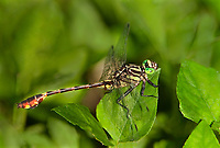333930004 a wild male cobra clubtail gomphus vastus perches on a leaf in independence park gonzales county texas