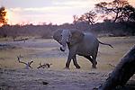 Elephant, Hwange Natl. Park