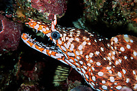 dragon moray, Enchelycore pardalis, Izu Ocean Park, Izu Peninsula, Japan, Pacific Ocean