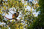 Red-tail Monkey (Cercopithecus ascanius) feeding in tree, Kibale National Park, western Uganda