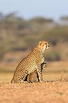 Female cheetah (Acinonyx jubatus) with one of three cubs (around 5 months old). Ndutu area, Serengeti / Ngorongoro Conservation Area (NCA), Tanzania.