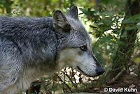 0823-1002  Gray Wolf (Grey Wolf), Canis lupus  © David Kuhn/Dwight Kuhn Photography
