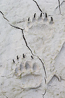 Old grizzly tracks in drying mud.