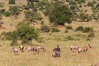 Tanzania. Serengeti. Waterbuck (middle) and Topi.