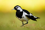 Magpie-lark (Grallina cyanoleuca) male foraging, Jervis Bay, New South Wales, Australia